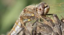 Variegated Meadowhawk Dragonfly On Sage, Native Plants Garden, Los Angeles, California