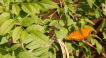 Gulf Fritillary On Golden Trumpet Bush In Garden, Los Angeles, California