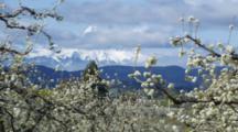 Mt. Hood Through Apple Orchard, Hood River Oregon