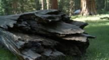 Fallen Snag In The Upper Mariposa Grove