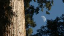 Giant Sequoia And Half Moon