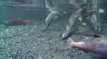 Salmon Schooling For Fall Spawn