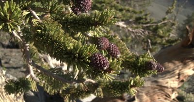 Bristlecone Pinecones in the White Mountains