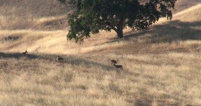 Mule deer bucks spar on a hillside 4K