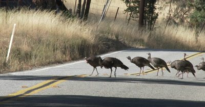 Wild turkeys cross road as a group 4K UHD
