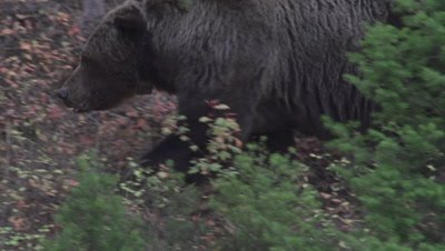 Famous Yellowstone grizzly Scarface walking