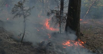 Wild fire burns ground fuels around conifers