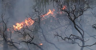 Wildfire burns a manzanita shrub 4K