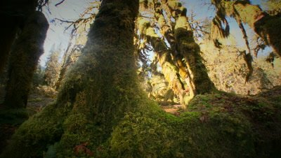 Hoh Rain Forest in Olympic National Park. Washington