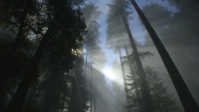 Light rays and fog in Redwood forest,Redwood NP,CA