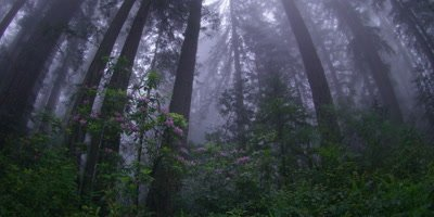 Fog over trees with sun rays,Redwood NP,CA