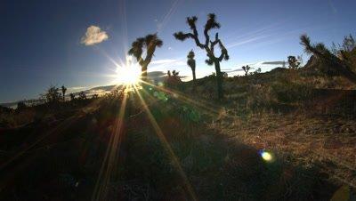 Cholla Cactus Garden,Joshua tree NP,CA