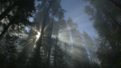 Rays of light through treetops,Redwood NP,CA