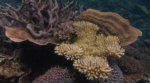 Travel Along Coral Reef, Bleached And Healthy Corals