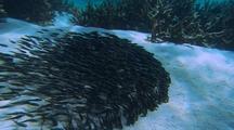 Catfish Schooling And Feeding Behavior