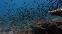 Catfish (Plotosus Lineatus) Schooling And Feeding Behavior