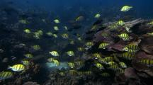 Convict  Surgeonfish ( Acanthurus Triostegus ) And Juvenile Parrotfish ( Family Scaridae) Group Feeding Behavior