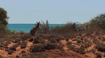 Wallaroo ( Macropus ) On Desert Coastal Foreshore Ningaloo