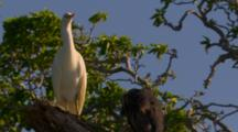 Sea Birds, Possibly Egret or Heron Adult and Chick in Tree