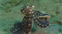 Mimic Octopus in guises