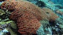 Red Hard Coral In Shallow Water