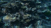 Fish School At Coral Reef Edge, Sparkling Light