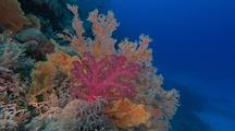 Mixed Soft Corals On Reef
