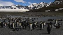 King Penguins With Chicks On Rocky Shoreline