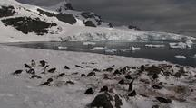 Gentoo Penguin Nesting Colony