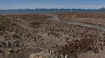 Wide Shot Of King Penguin Chicks On Beach Icebergs In Background