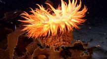Anemone, Large, Swaying On Kelp