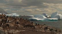 Gentoo Penguins On Rocky Shoreline With Icebergs In Background