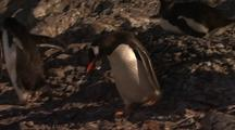 Nesting Gentoo Penguin Collects Pebble