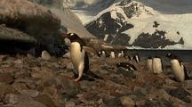 Marching Gentoo Penguins In Front Of Melting Ice