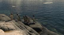 Gentoo Penguins Jump Hop Exit Out Of Water Onto Rocks