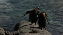Gentoo Penguins Enter Water