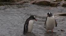 Gentoo Penguins In The Water