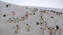Adelie Penguins Walk In Lines
