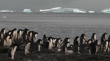 Adelie Penguins On Rocky Shore Icebergs In Background