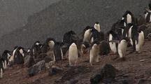 Adelie Penguins On Rocky Shore In Snowfall