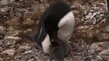 Adelie Penguin Chick Hatchlings Fed By Parent