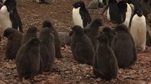 Adelie Penguin Chicks
