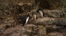 Funny Adelie Penguin With Bad Road Manners