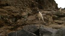 Funny Adelie Penguin Stumbles And Falls From Precarious Path