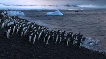 Adelie Penguins Enter Ocean