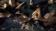 Antarctic Brown Petrels Feed