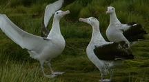 Antarctic Wandering Albatross Courtship Display