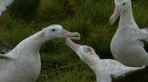 Antarctic Wandering Albatross Courtship Display