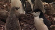 Chinstrap Penguins And Chicks
