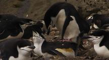 Chinstrap Penguins Mate